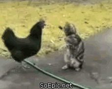 cat fights chicken