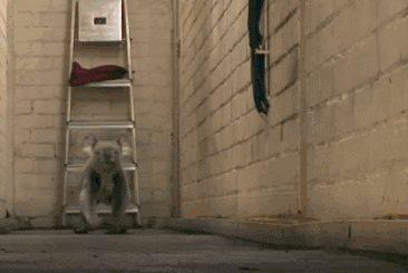 koala walks in a funny way