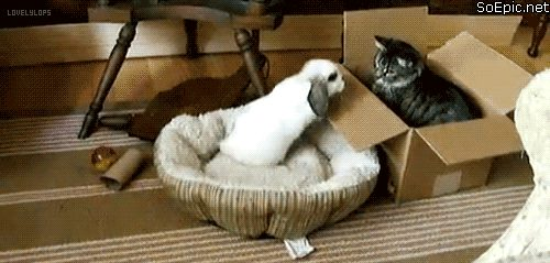 angry bunny attacks cat in box