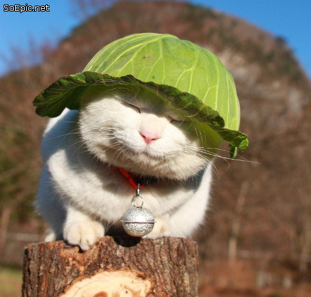 cute cat in Japan with cabbage leaf on his head