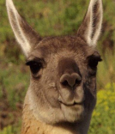 eating kangaroo