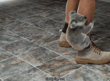 Koala bear doesnt want to let him go